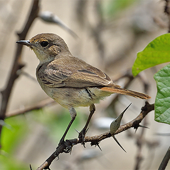 Brown-tailed Chat