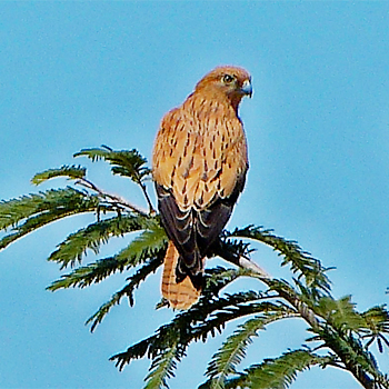 Fox Kestrel
