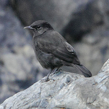 Rüppell's Black-chat