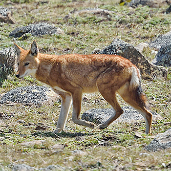 Simien Wolf
