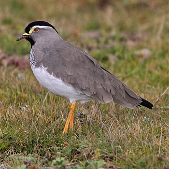 Spot-breasted Lapwing