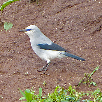 Stresemann's Bush-crow