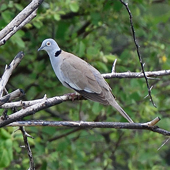 White-winged Collared-dove