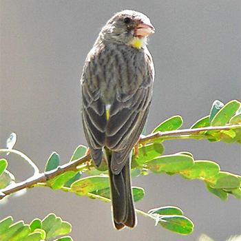 Yellow-throated Serin