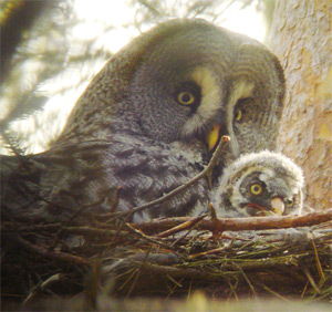 Great Grey Owl and chick