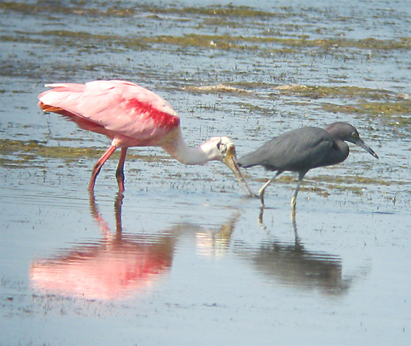 Roseate Spoonbill and Little Blue Heron