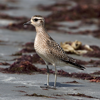 American Golden-plover – fourth record for The Gambia