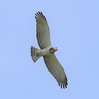 Beaudouin's Snake-eagle