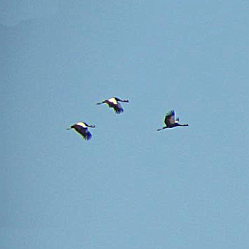 Black Crowned-cranes