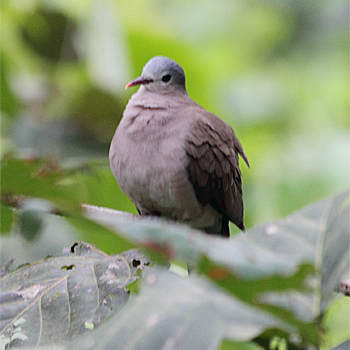 Blue-spotted Wood-dove
