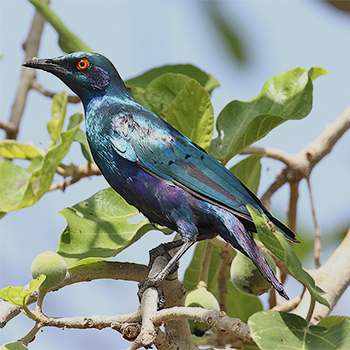 Bronze-tailed Glossy-starling