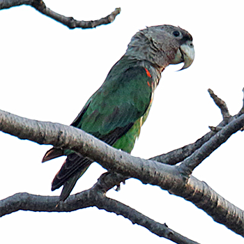 Brown-necked Parrot