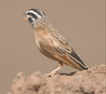 Cinnamon-breasted Bunting