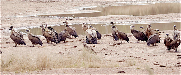 Eurasian and Rüppell's Griffons and White-backed Vultures
