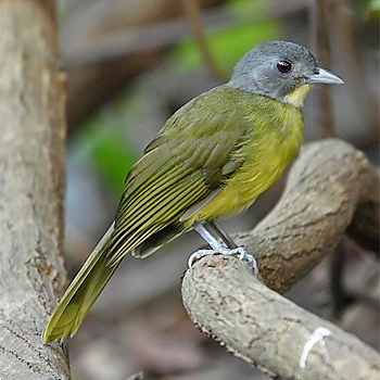 Grey-headed Bristlebill