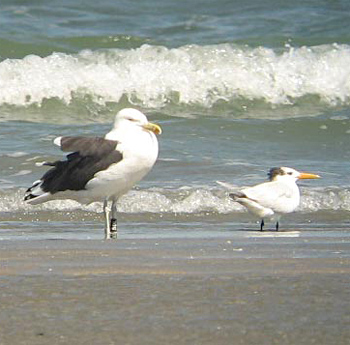 Kelp Gull and Royal Tern