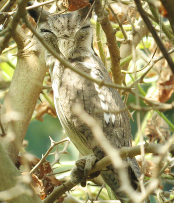 Northern White-faced Owl