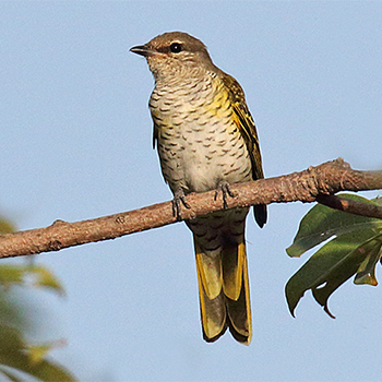 Red-shouldered Cuckoo-shrike