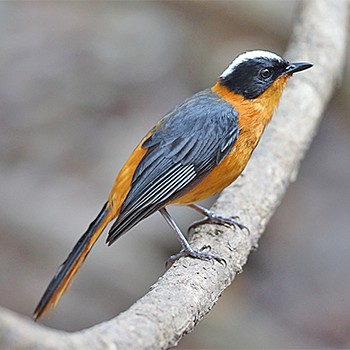 Snowy-crowned Robin-chat