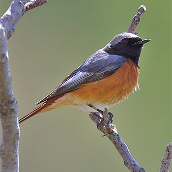 Common Redstart (<em>samamisicus</em>)