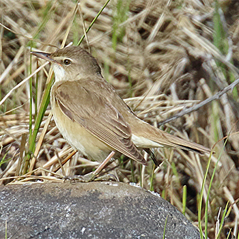 Great Reed-warbler