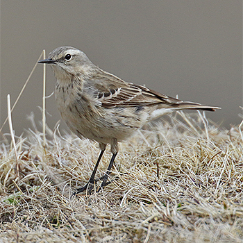 Water Pipit (<em>coutellii</em>)