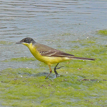 Western Yellow (Black-headed) Wagtail