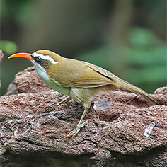 Red-billed Scimitar-babbler