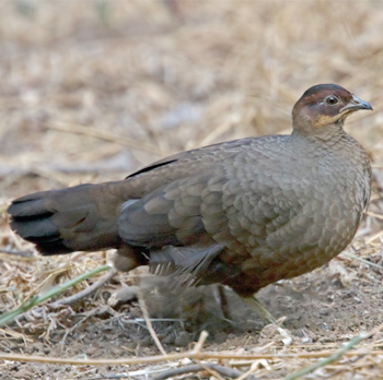 Female Painted Spurfowl