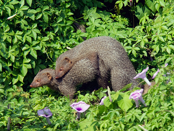 Indian Mongooses