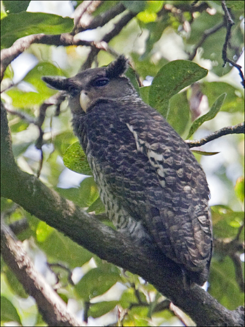 Spot-bellied Eagle-owl