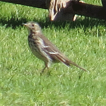 American (Buff-bellied) Pipit