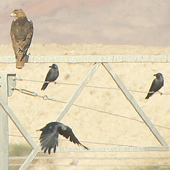 Bonelli's Eagle and House Crows