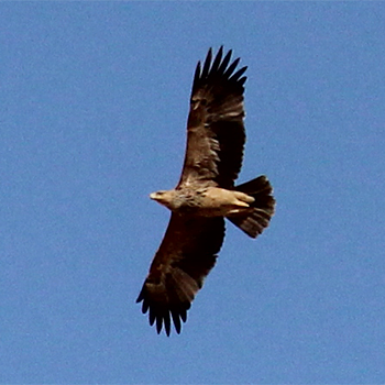 Imperial Eagle (immature)
