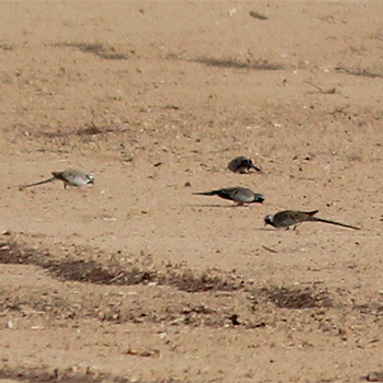 Namaqua Doves