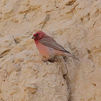 Pale Rosefinch