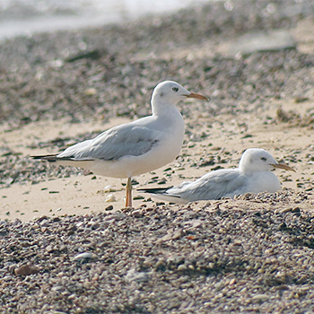 Slender-billed Gulls