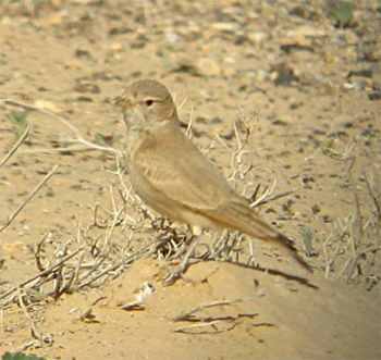 Bar-tailed Lark