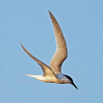 Common Tern (<em>longipennis</em>)