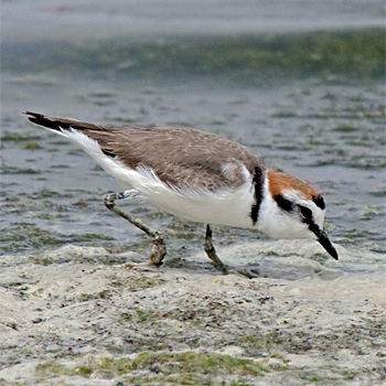 Kentish Plover