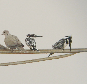 Pied Kingfishers (and Eurasian Collared-dove)