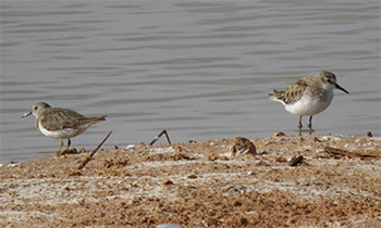 Temminck's and Little Stints