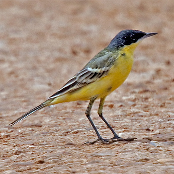 Yellow (Black-headed) Wagtail