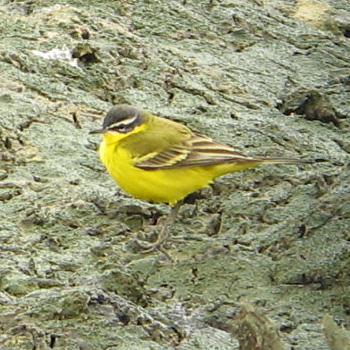 Yellow Wagtail ('superciliaris')