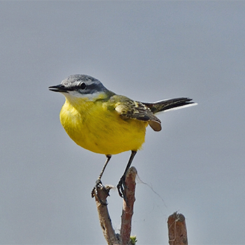Western (Sykes's) Yellow Wagtail