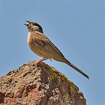 Chestnut-breasted Bunting