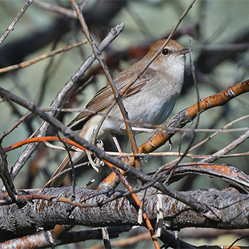 Common Nightingale (<em>golzii</em>)