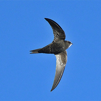 Common Swift (<em>pekinensis</em>)