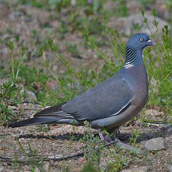 Common Wood-pigeon (<em>casiotis</em>)
