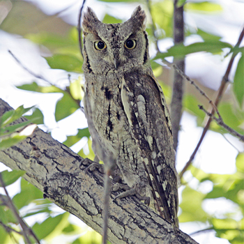European Scops-owl